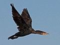 Cormorant, Double-crested LOa.jpg