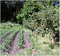 Corn and Apples, Oak Glen, CA.6-23-12 (7449460710).jpg