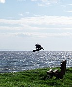 Corvus corone Porthcawl.jpg