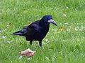 Corvus frugilegus, Rook, Saatkrähe 03.JPG