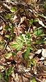 Corydalis sp., Ranunculaceae 03.jpg