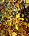 Corylus, corkscrew hazel autumn leaves in Germany.jpg
