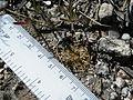 Coryphantha retusa (5736653722).jpg