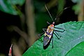 Cotton Stainer Assassin (Phonoctonus sp.) (17944382386).jpg