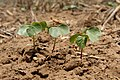 Cotton seedlings in the 2010 crop year. (25023825111).jpg