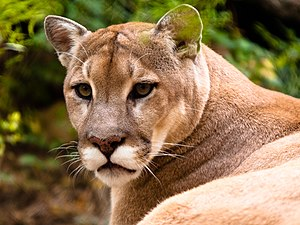 (Puma concolor) aka: Mountain Lion, Puma
