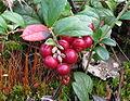 Cowberry-1.jpg