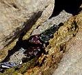 Crab in the Rocks (15140742176).jpg