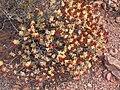 Crassula rupestris-PICT3076.jpg