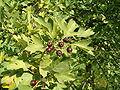Crataegus pentagyna FruitsLeaves BotGardBln0906.JPG