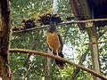 Crax fasciolata -Parque das Aves, Brazil -female-8a.jpg