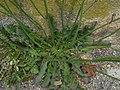 Crepis foetida plant (11).jpg