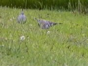 File:Crested Pigeon94.ogv