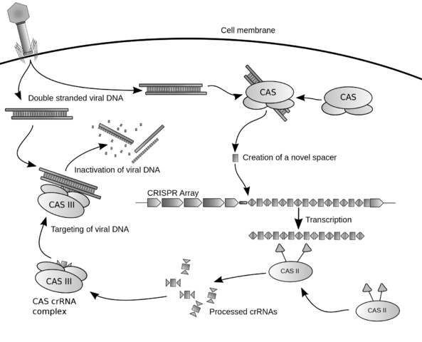 Diagram of the possible mechanism for CRISPR by James atmos on Wikimedia Commons. Used under Creative Commons license. http://commons.wikimedia.org/wiki/File:Crispr.png