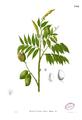 Crudia blancoi Blanco2.244.png