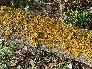 Crustose lichen - Growth of crustose lichen on a tree trunk