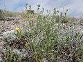 Cryptantha scoparia (5062660769).jpg