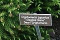 Cryptomeria japonica Elegans Nana 0zz.jpg