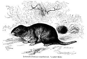 English: Ctenomys magellanicus Polski: Tukotuk...