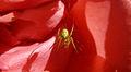 Cucumber Green Spider, Aaignée courge, Araniella cucurbitina, Lille, France, Lamiot 05.JPG