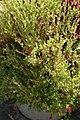 Cuphea llavea Rhumba 3zz.jpg