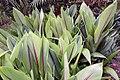 Curcuma zedoaria 6zz.jpg