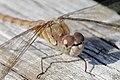 Curious Dragonfly (36583169994).jpg