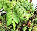 Curry leaves fig2.jpg