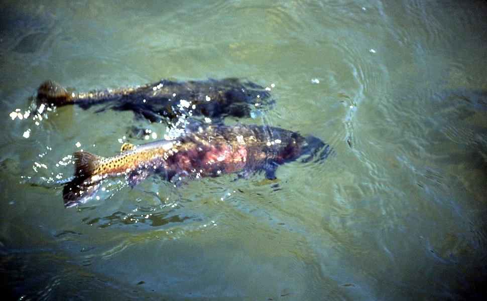 Cut-throat-spawning-15271
