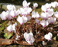 Cyclamen hederifolium Flowers BotGardBln0906a.jpg