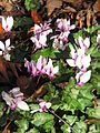 Cyclamen hederifolium group2.jpg