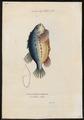 Cyclopterus lumpus - 1700-1880 - Print - Iconographia Zoologica - Special Collections University of Amsterdam - UBA01 IZ13600147.tif