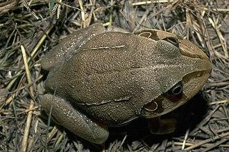 New Holland frog - Image: Cyclorana novaehollandiae 07