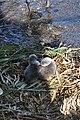 Cygnus olor (Küken) - Arboretum 2011-05-28 18-19-40.JPG