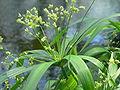 Cyperus diffusus 2007-06-16 375.jpg