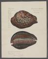 Cypraea mauritiana - - Print - Iconographia Zoologica - Special Collections University of Amsterdam - UBAINV0274 088 02 0021A.tif