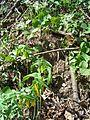DO - Large-flowered Bellwort (4072486338).jpg
