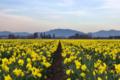 Daffodil field.png