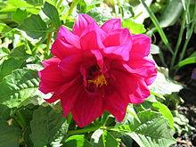 Dahlia - Wikipedia