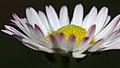 Daisy (32798142733).jpg