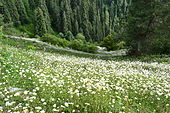Daisy fields on Mukeshpuri.JPG
