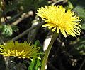 Dandelion (Taraxacum officinale) X (4540615600).jpg