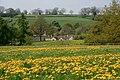 Dandelion Field, Kniveton - geograph.org.uk - 417753.jpg