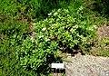 Daphne × transatlantica 'Blafra' Eternal Fragrance - Asticou Azalea Garden - Northeast Harbor, Maine - DSC03478.jpg