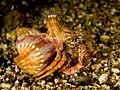 Dardanus pedunculatus (Hermit crab).jpg