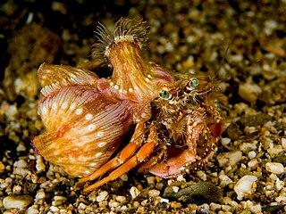 <i>Dardanus pedunculatus</i> species of crustacean