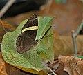 Dark Judy (Abisara fylla) at Samsing, Duars, West Bengal W IMG 6141.jpg
