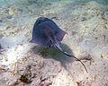 Dasyatis americana (southern stingray) (San Salvador Island, Bahamas) 1 (15531095154).jpg