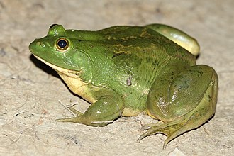 Euphlyctis hexadactylus - Euphlyctis hexadactylus from India