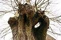 De Zeven-Sacramentenboom , opgaande linde - 375901 - onroerenderfgoed.jpg